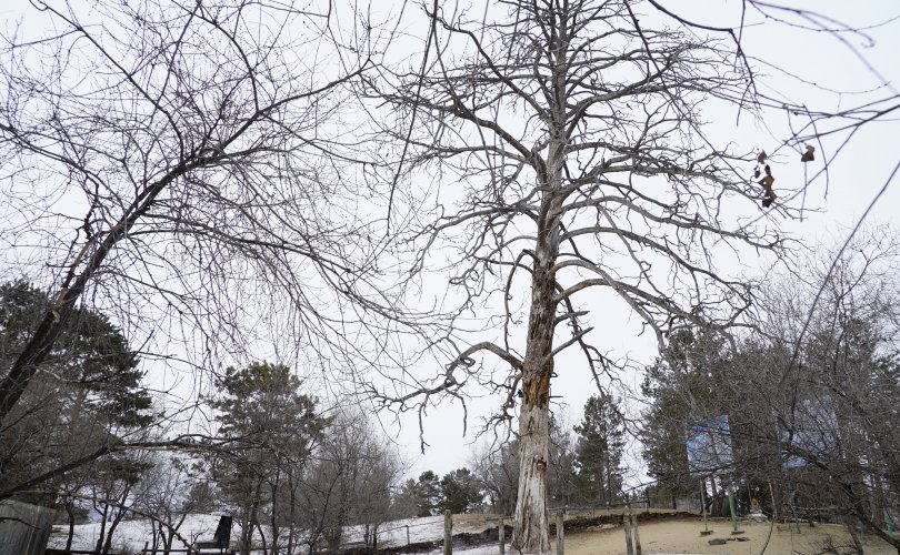 母亲tree01