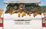 Mongolian Bankhar Dogs return to herders
