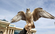 Hawk Festival to be held near Ulaanbaatar