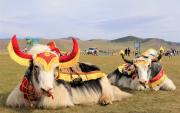 In praise of the Yak –  Festival in Arkhangai
