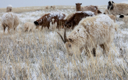 Cashmere Company supports Mongolian herding families