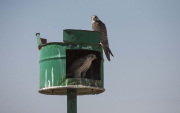 Artificial nests for Mongolia's national bird