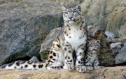 Rare snow leopard spotted near herder settlement in Mongolia