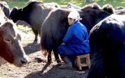 Mongolians used dairy food products since 3000 BCE