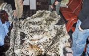 Skins of endangered Snow Leopards seized in Mongolia