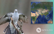 Epic 7,500-mile migration of Onon the Mongolian cuckoo stuns scientists