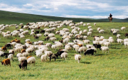 Mongolia to deliver 15,000 sheep to China early September