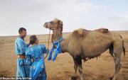 The loyal and homesick camel who took a long trek home