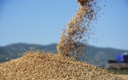 Mongolia expecting good wheat harvest in 2020
