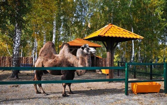 Новосибирскийн буяны алба тэмээ худалдан авав