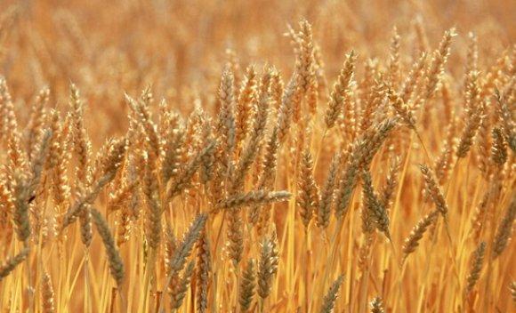 Ургацын болц хойшилж, чийг өндөртэй үр тариа хураан авна