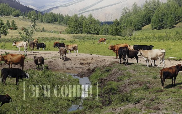 Малын маханд чинь хар тугалга олон зуу дахин их байна шүү, монголчууд аа!
