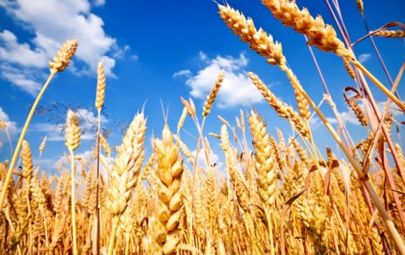 Улсын хэмжээнд ургац хураалтын явц 35 хувьтай байна