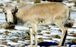 Бог малын мялзан өвчин (вирус) зэрлэг ан амьтдад аюул учруулж байна
