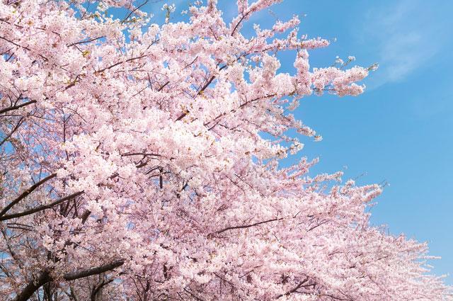 Японд сакура цэцэглэж байна