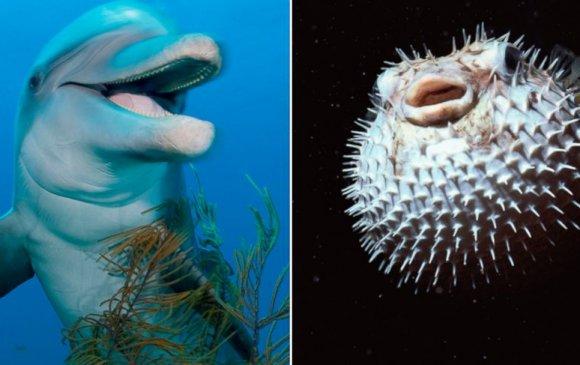 Далайн гахай мансуурахын тулд загас иддэг
