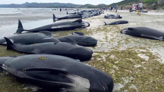 Далайн эргээс 145 үхсэн халим олджээ