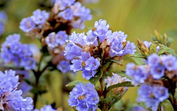 Нилакуринжи 12 жилд ганцхан удаа цэцэглэдэг