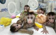 Хятадад генийн өөрчлөлттэй сармагчингуудыг хувилжээ