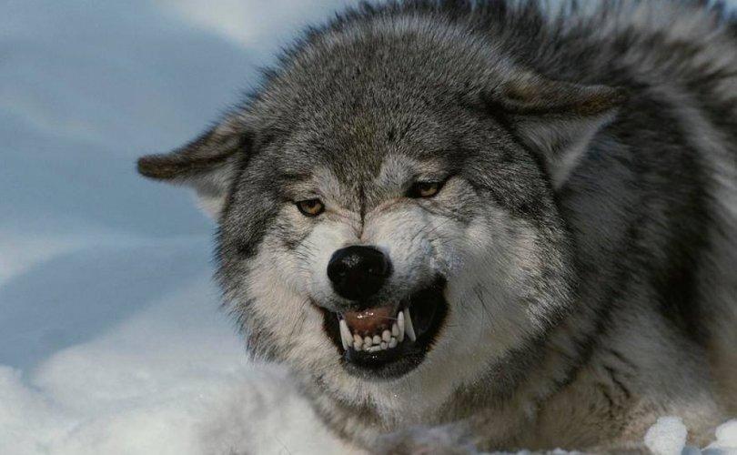 Галзуу чоно хүн рүү дайрчээ
