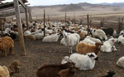 Өнгөрсөн сард 25 мянган мал хорогджээ