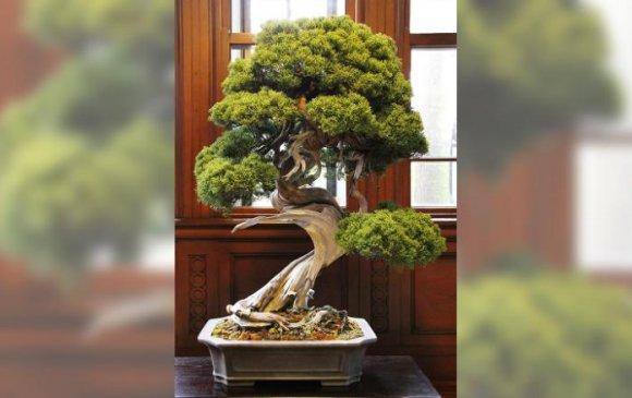 400 жилийн настай бонсай модыг хулгайлжээ