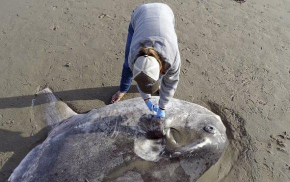 Калифорнийн далайн эргээс хоёр метрийн урттай аварга том загас олджээ