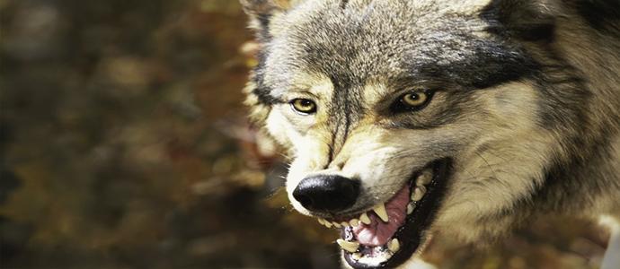 Галзуу чононд ноцуулсан малчдын бие сайжирчээ