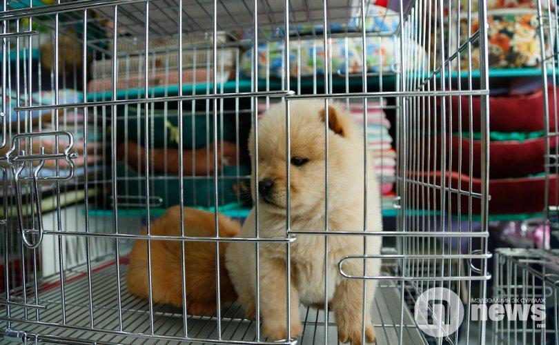 Үүлдрийн нохой золбин болсныг Монголд л харж болно