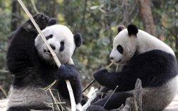 Москвагийн зоопарк хоёр панда хүлээн авна