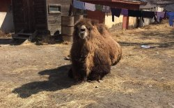 Зайсангийн тэмээг сүрэгт нь нийлүүлэхээр боллоо
