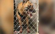 Эрэлч нохой гэмт этгээдийг хайж яваад үхэр зарааны дайралтад өртжээ