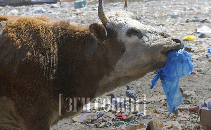 Үхрээ хогоор хооллодог Монголын эмгэнэл