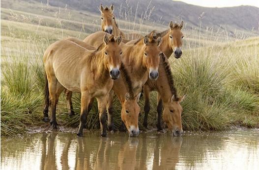 Прага хотын амьтны хүрээлэнгийн дөрвөн тахийг Монголд нутагшуулна