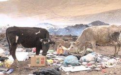 Монголчууд хог идсэн малынхаа махыг идэж байна