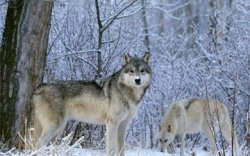 Австрийн эрдэмтэд чоно нохойноос илүү халамжтай амьтан гэдгийг баталжээ