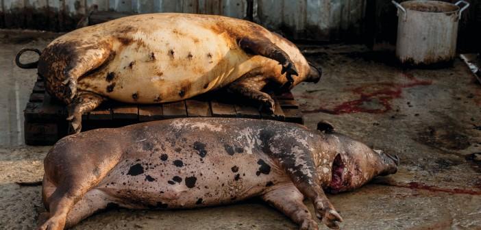Вьетнамд 2,8 сая гахайг устгалд оруулав