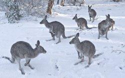 35 жилийн дараа Австралид цас оржээ