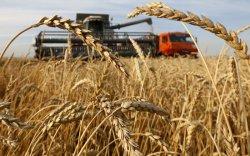 Цочир хүйтэрч, цас орсон ч ургац хураалтад нөлөөлөхгүй