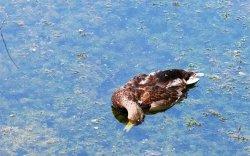 Олон тооны шувуу үхсэн нь гоц халдварт өвчнөөс болоогүйг тогтоожээ