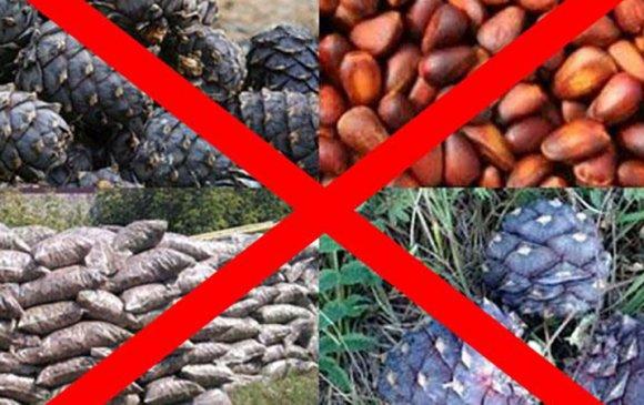 2020 оны есдүгээр сар хүртэл хуш модны самар бэлтгэхийг хориглов