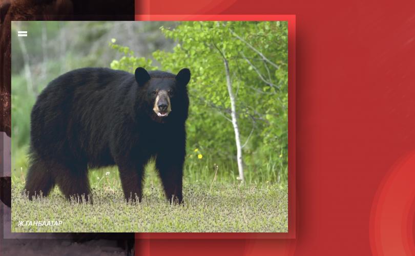 Нийслэлд зэрлэг амьтан орж ирвэл 11-318003, 11-310005 утсанд мэдээлээрэй