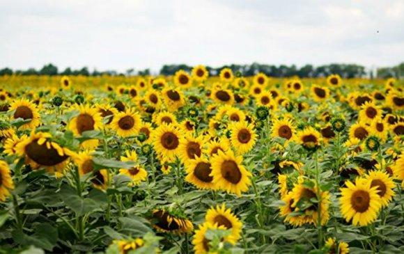 Наранцэцгийн арвин ургац авсан тул ургамлын тос хямдарна гэв