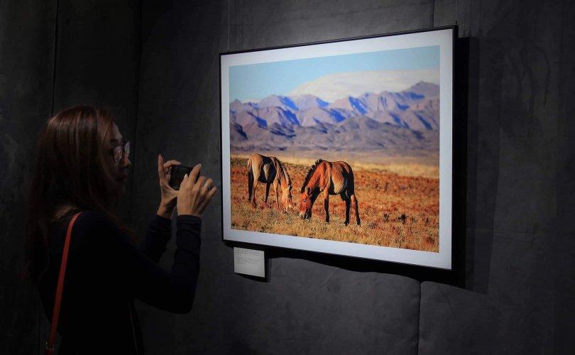 Монгол Улсын хэмжээнд 720 гаруй тахь нутагшиж байна