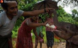 Мьянмар дахь зааны өнчин тугал асрах газар бүл нэмжээ