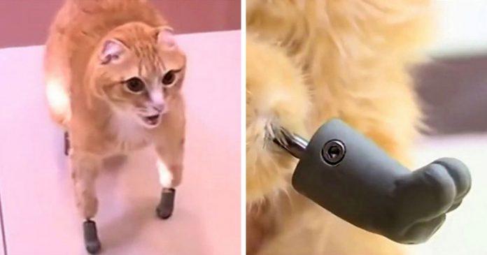 Хөлөө хөлдөөсөн мууранд шинэ хөл бэлэглэв