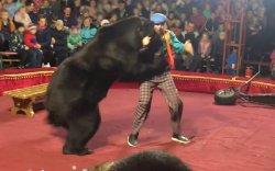 Оросод циркийн үзүүлбэрийн үеэр баавгай сургагч руугаа дайрчээ