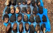 Хятадын хилээр 240 баавгайн савар гаргах гэж байсныг саатуулжээ