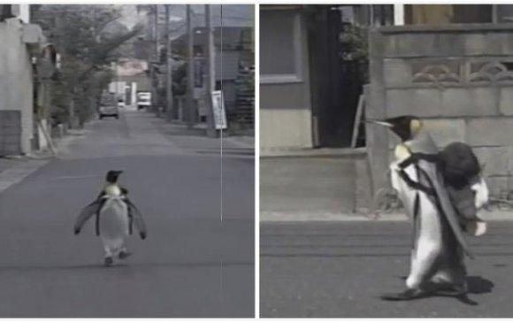 Үүргэвчээ үүрэн хүнсээ цуглуулдаг пингвин