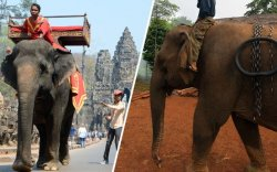 Камбожид заан унахыг хориглолоо